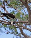 Osprey που τρώει τα ψάρια στο δέντρο Στοκ φωτογραφίες με δικαίωμα ελεύθερης χρήσης