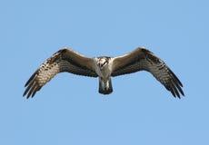 osprey πτήσης Στοκ Εικόνες