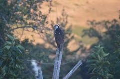 Osprey στην πέρκα Στοκ Φωτογραφίες