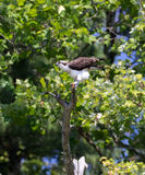 Osprey στο Οχάιο Pooping στοκ φωτογραφία με δικαίωμα ελεύθερης χρήσης