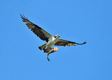 osprey ψαριών Στοκ φωτογραφίες με δικαίωμα ελεύθερης χρήσης