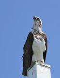 Osprey вытаращится в небо Стоковое Фото
