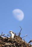osprey гнездя луны Стоковые Фотографии RF