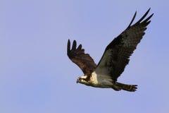 osprey летания Стоковое фото RF