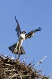 osprey летая гнездя hunt к Стоковые Фото