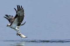 osprey нося рыб Стоковое Изображение RF