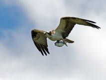 osprey нося рыб Стоковое Фото