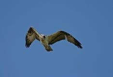 osprey полета стоковая фотография rf