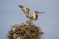 osprey посадки рыб Стоковые Изображения RF
