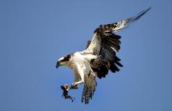 osprey посадки Стоковое Изображение RF