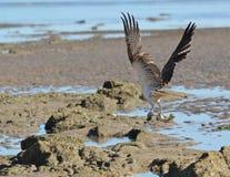 osprey рыб Стоковые Изображения RF