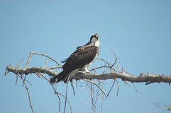 osprey садился на насест стоковая фотография