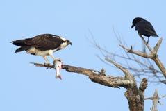 Osprey с рыбами Стоковое Фото
