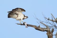 Osprey с рыбами Стоковые Изображения