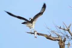 Osprey с рыбами Стоковые Изображения RF
