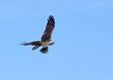 Osprey с рыбой Стоковое Изображение