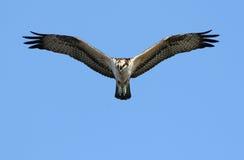 osprey удя хоука Стоковое Изображение RF