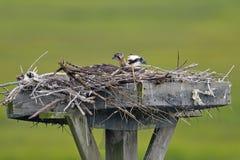 osprey цыпленока Стоковые Фотографии RF