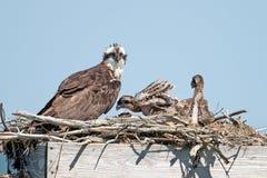 osprey цыпленоков Стоковое Изображение RF