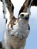 Osprey. Photo of an Osprey taken on Lake George in Central Florida Stock Photo