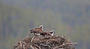 Osprey Photo libre de droits