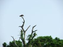Osprey Immagini Stock Libere da Diritti