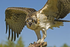Osprey Imagen de archivo libre de regalías