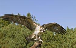 Osprey. On falconer's glove Stock Photos