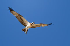Osprey. A flying osprey with a catched fish Royalty Free Stock Photography