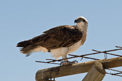 Osprey Stock Photography