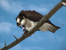 Osprey. Wild Osprey eating fish on limb Royalty Free Stock Photos