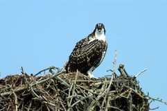 Osprey  Royalty Free Stock Photos