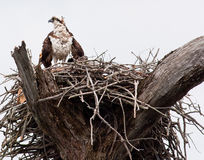 Osprey stockbild