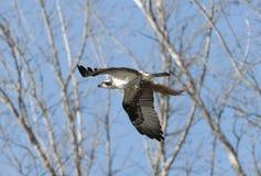 osprey στοκ φωτογραφία