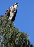 Osprey Стоковое Фото