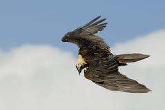 osprey Стоковая Фотография RF