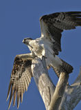 Osprey. The Osprey (Pandion haliaetus), sometimes known as the sea hawk or fish eagle, is a diurnal, fish-eating bird of prey Royalty Free Stock Photography