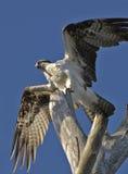 Osprey Royalty Free Stock Photography