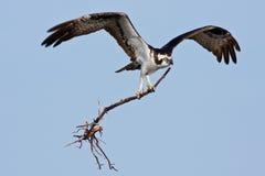Osprey Stockbilder