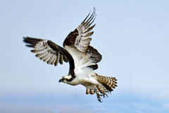 Osprey. In Flight Over Forsythe National Wildlife Refuge Stock Photo