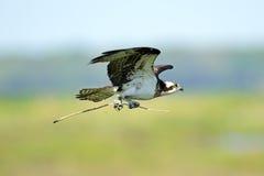 osprey Стоковые Изображения