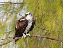 Osprey Lizenzfreies Stockbild