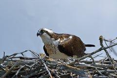 osprey Стоковое Изображение RF