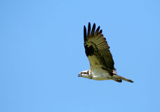 Osprey 2. Osprey Flying Royalty Free Stock Images