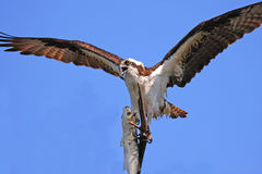 Osprey foto de stock royalty free