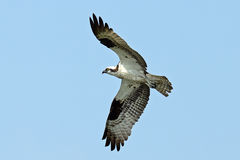 Osprey. In flight soaring against blue sky Royalty Free Stock Photography