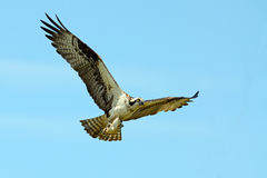 Osprey. In flight carrying fish Royalty Free Stock Photography