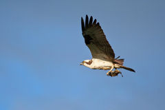 Osprey Photographie stock