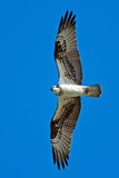 Osprey. In flight directly overhead Stock Photography
