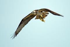 Osprey Stock Image